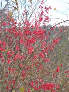 -berberis_vulgaris-ker-plody.jpg